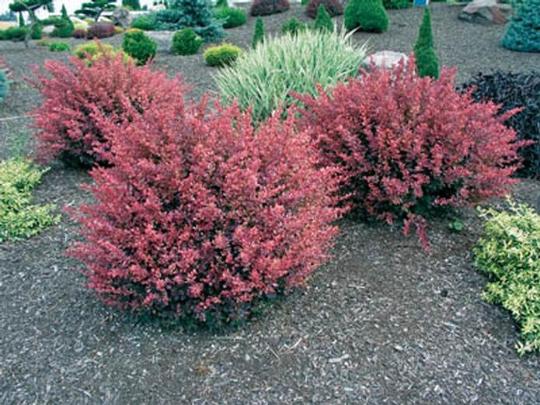 Rose Glow Barberry shrub qt. pot (Berberis thunbergii 'Rose Glow')