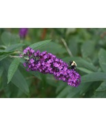 Bee Busy on Butterfly Bush (Photo Print) - $12.00