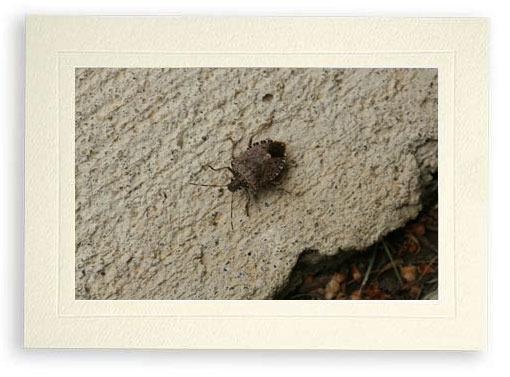 Stinkbug Catch and Release (Photo Print)