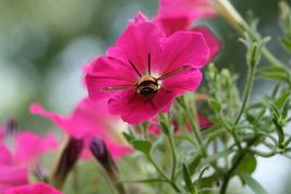 Clearwing Hummingbird Moth at Work in Petunia (Photo Print) - $12.00