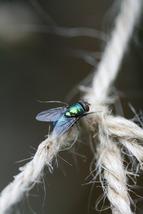 Bluebottle Fly on Garden Twine (Photo Print) - $12.00