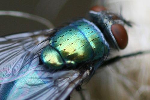 Bluebottle Fly on Garden Twine (Photo Print)