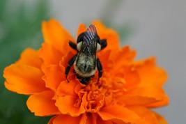 Bumblebee Busy on Marigold (Photo Print) - $12.00