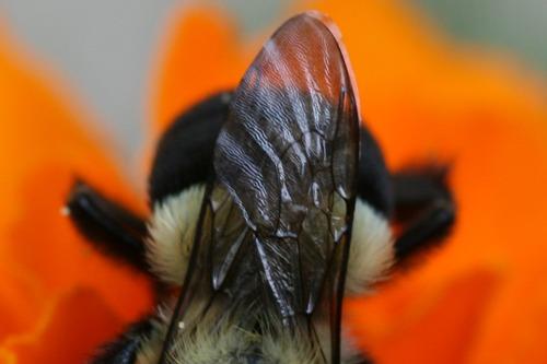 Bumblebee Busy on Marigold (Photo Print)