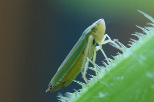 Tiny Leafhopper Climbing Cucumber Stalk (Photo Print)