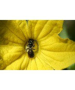 Tiny Insect Working in a Cucumber Flower (Photo Print) - $12.00