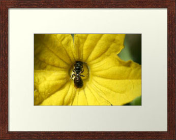 Tiny Insect Working in a Cucumber Flower (Photo Print)