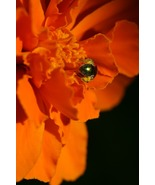 Tiny Insect Hard at Work, Covered in Pollen (Photo Print) - $12.00
