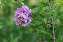 Bee in Rose of Sharon, Hidden Smiley Face (Photo Print) - $12.00