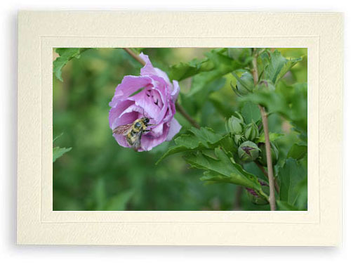 Bee in Rose of Sharon, Hidden Smiley Face (Photo Print)