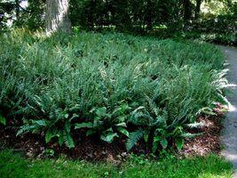 Christmas fern 5 rhizomes (Polystichum acrostichoides) image 4