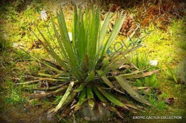 15 Seeds of Rare Agave FILIFERA SCHIDIGERA - $13.86
