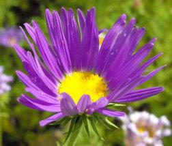 100 Tahoka Daisy - Violet Blue - prairie aster flower - £3.29 GBP