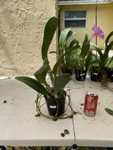 Blc. Mahina Yahiro 'Julie'. CATTLEYA Orchid Plant Pot BLOOMING SIZE 0506 F image 2