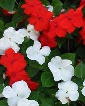 50Pcs Impatiens Seeds, Red & White Impatiens Seed, Heirloom Annual Flower - $13.99