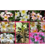 Rare exotic fragrant 1 ROOTED Plumeria plant Seedling - $8.95