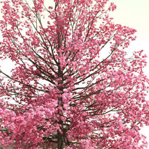 10 Red Flowering Dogwood Cornus florida rubra Tree Seeds (Fall Color Sho... - $9.99