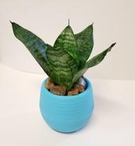 "Bird's Nest Succulent in Blue Self-Watering Planter, Snake Plant Sansevieria 3"""
