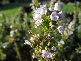 150 seeds - Creeping Winter Savory Satureja Montana Herb #SFB15 - $17.99