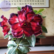 2 Seed Tri-color Double Adenium black outer petal red, DIY Beautiful Tre... - $9.99