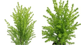 "Lemon Scented Goldcrest Cypress Tree - Indoors/Out/FairyGarden - 2.5"" Pot - $31.99"