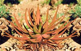 Aloe Gariepensis, exotic cacti xeriscaping succulent rare agave cactus 1... - $18.00