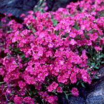 SHIP FROM US 50 Rockcress Cascading Red Flower Seeds (Aubrieta Hybrida),... - $11.98