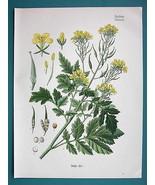 WHITE MUSTARD Medicinal Plant Sinapis Alba - Beautiful COLOR Botanical P... - $21.60