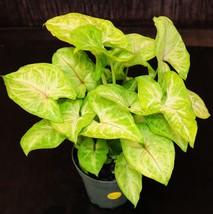 "4"" Pots  (2) Syngonium Gold Allusion Arrowhead Tropical House Plants - $49.99"