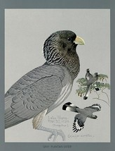 Gray Plantain Eater - 1927 - Bird Illustration Poster - $9.99+