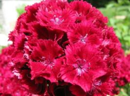 100 Pcs Seeds Caryophyllaceae Cardinal Dianthus Red Flower - DL - $18.00