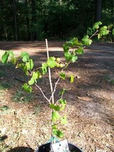 Light Scuppernong Muscadine Grape Vine 2Gal. Plants Plant Grapes Vineyards Home - $43.60