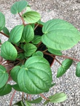 """Live Rooted- Peperomia Green 6"""" Pot  - Easy to Grow Houseplant Rare - $28.49"""