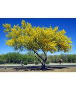 Cercidium floridum - Palo Verde Tree 10 seed - $11.99