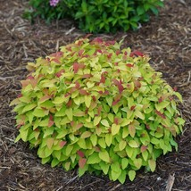 Double Play Candy Corn Spirea image 1