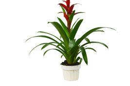 "1 Live Plant -  Bromeliad Guzmania 'Red' 6"" Pot #HPS13 - $61.99"