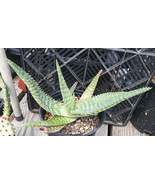 Aloe zebra Striped Layer Leaves 67 - $12.33