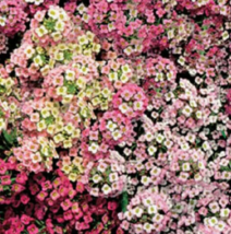 500 Pcs Seeds Lobularia Maritima Sweet Alyssum Pastel Carpet Mixed Flowe... - $16.00