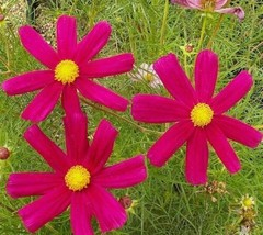 SHIP FROM US 36,000 Cosmos Dazzler Seeds, ZG09 - $81.96
