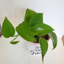 Jade Pothos Houseplant in Ceramic Planter, Let Love Grow Flower Pot, Epipremnum image 5