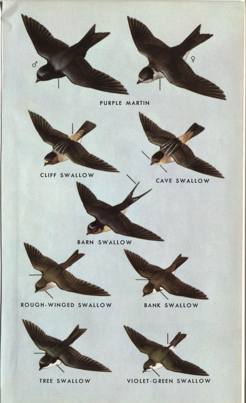 Western North American Birds: Swallows. Small 1961 print. 7 X 4