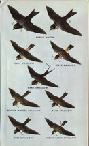 Western North American Birds: Swallows. Small 1961 print. 7 X 4 - $9.85