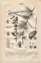 """Larche"" (Larch - Deciduous Conifer). Antique German 1888 Botany print. - $15.67"