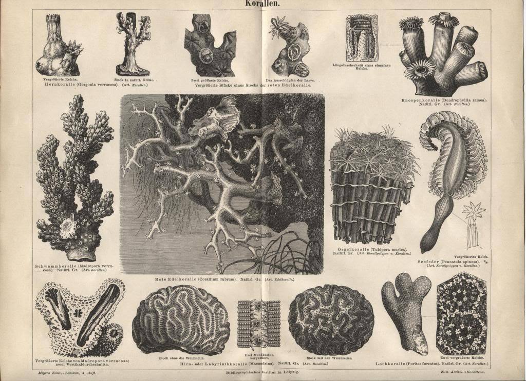 """Coral"" (Korallen) from Antique German Encyclopedia. 1888 print."
