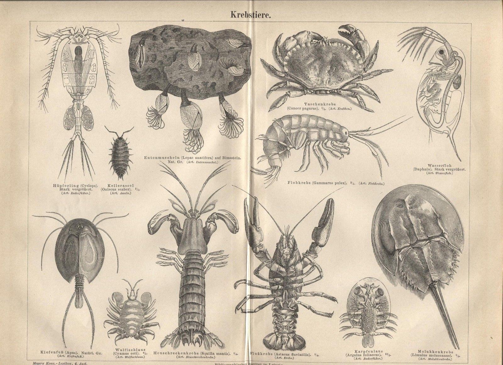 "Crustaceans (""Krebstiere"") Antique German 1888 print. Crab, lobster,shrimp."