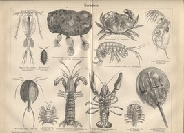 "Crustaceans (""Krebstiere"") Antique German 1888 print. Crab, lobster,shrimp. - $21.56"