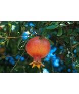 Russian Giant Pomegranate Fruit Tree Live Plant RARE Slovensky - $39.99