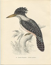 Tropical Birds: Spotted Kingfisher. John Gould. 1948 vintage print. - $16.61