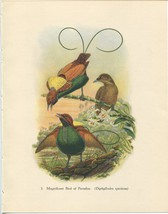 Tropical Birds: Magnificent Bird of Paradise. John Gould. 1948 vintage p... - $16.61