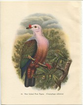 Tropical Birds: New Ireland Fruit Pigeon. John Gould. 1948 vintage print. - $16.61